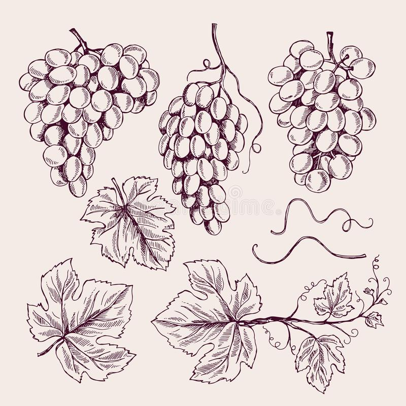Raisin tiré par la main Collection de croquis de vecteur de vignoble de cru de feuilles de vigne et de vrilles de branche illustration de vecteur