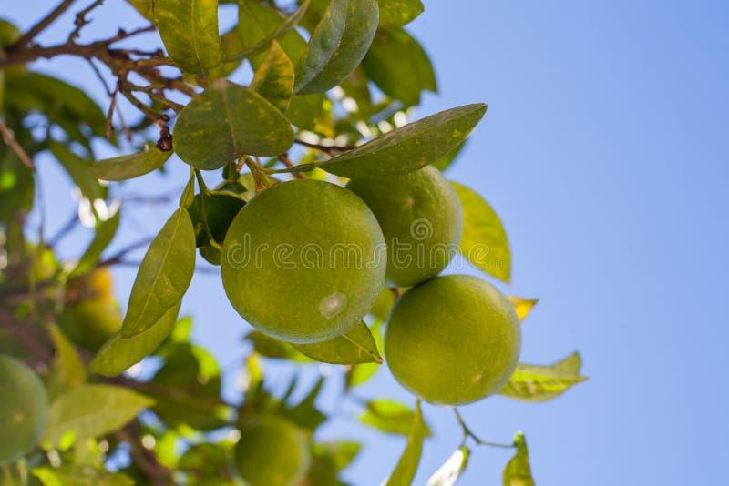 raisin vert de mandarines photographie stock libre de droits