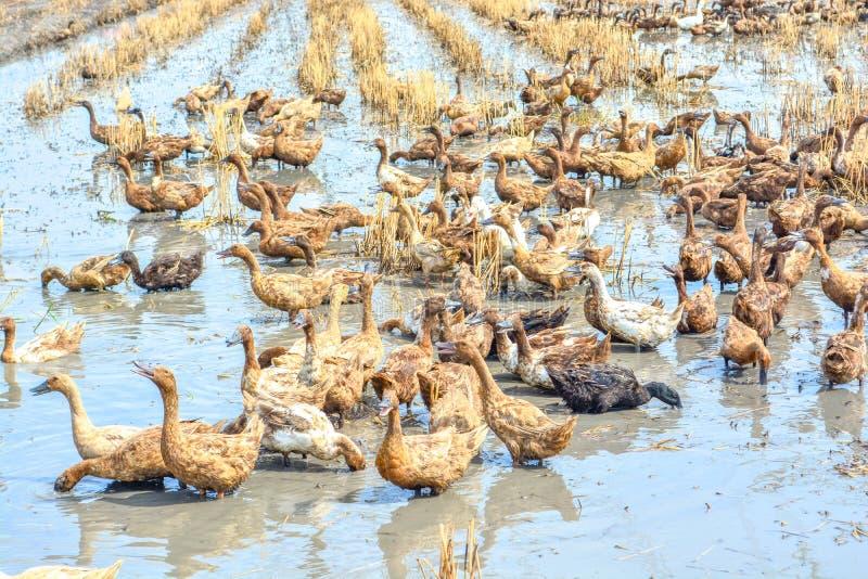 Download Raising Ducks In Paddy Field Stock Photo - Image: 63990048