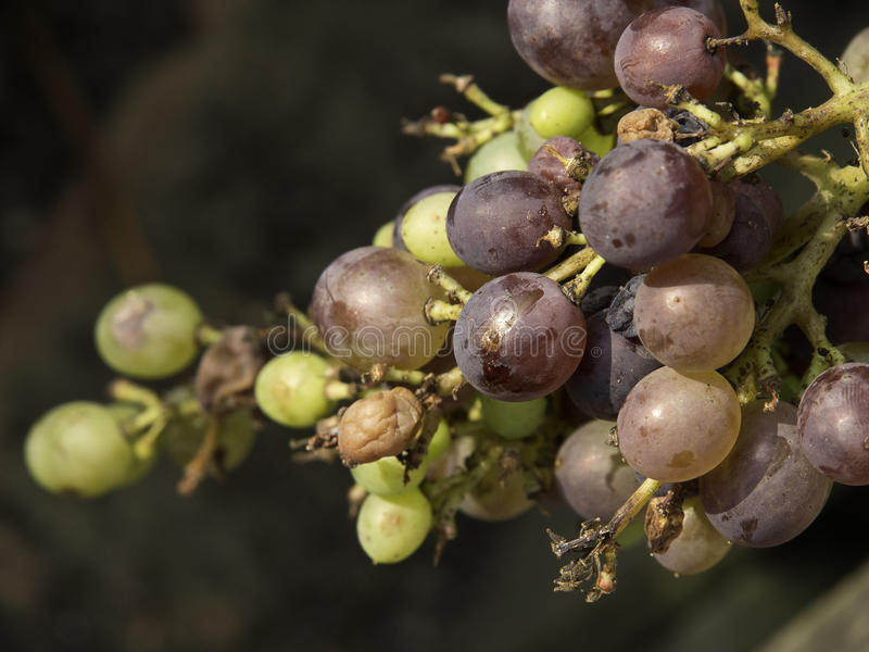 Download Raisins image stock. Image du raisin, vert, vigne, raisins - 45355135
