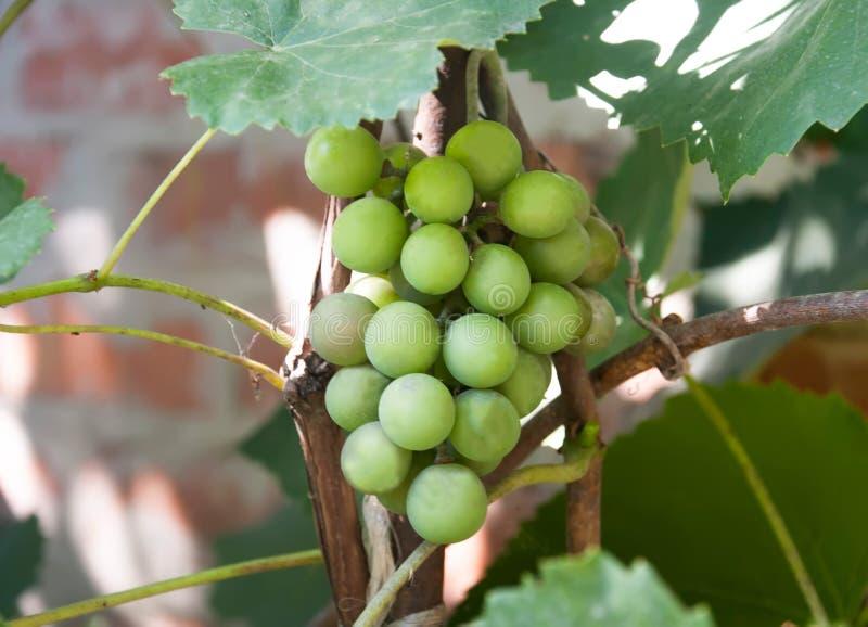 Raisins avec les lames vertes sur la vigne photographie stock libre de droits