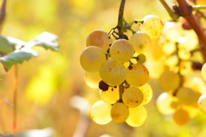 Download Raisins Blancs Dans Le Vignoble En Automne Image stock - Image du arrondi, jardin: 56484613