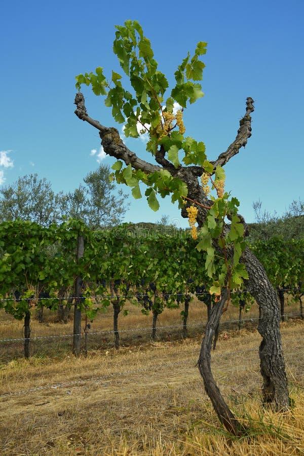 raisins blancs sur des vignobles en Toscane l'Italie photos stock