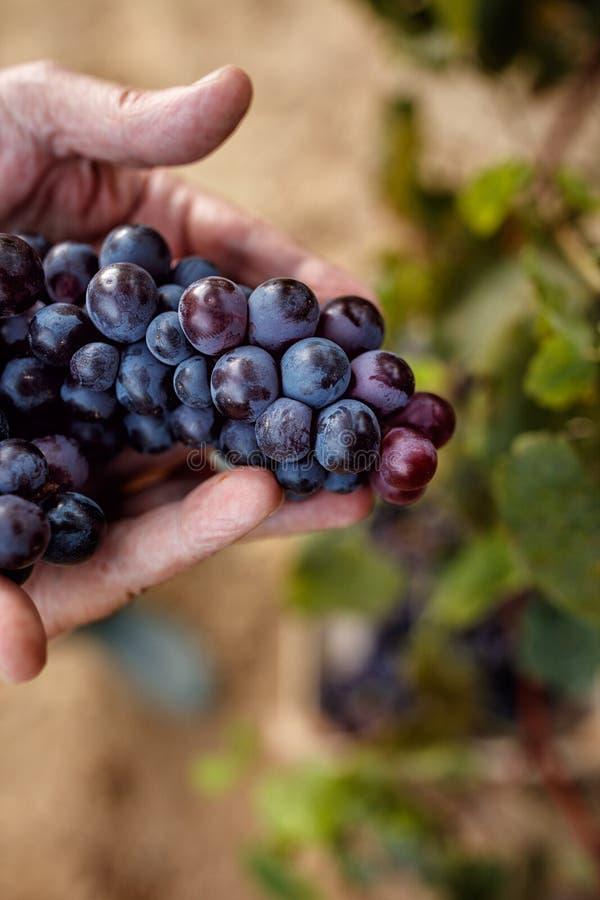 Raisins bleus dans la vigne photo libre de droits