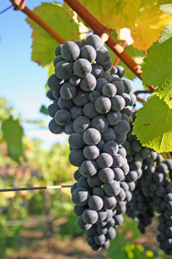 Raisins bleus en automne photos stock