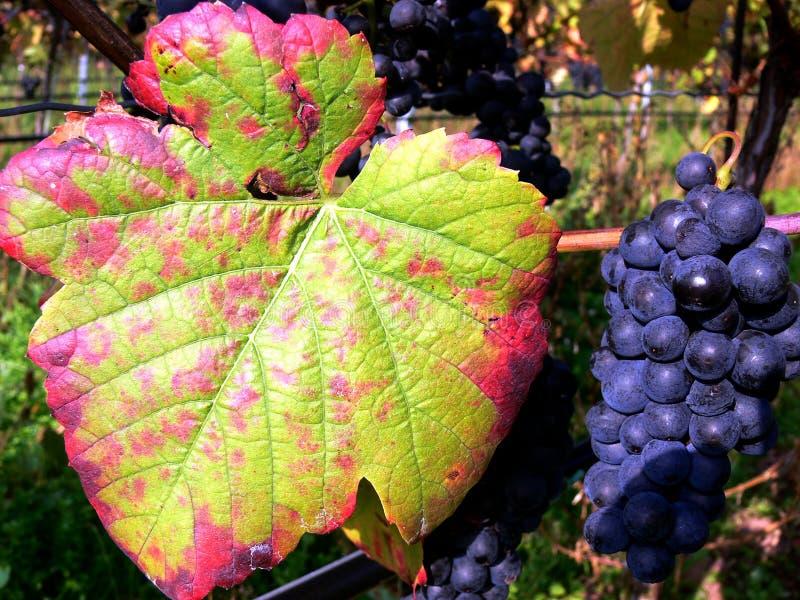 Raisins bleus sur la vigne avec des feuilles de raisin dans des couleurs d'automne images stock