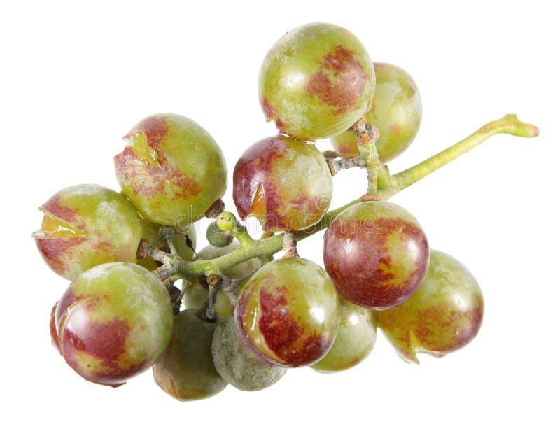 Raisins cultivés sans utilisation des pesticides et d'autres produits chimiques Groupe de raisins avec les maladies fongiques d'i photographie stock