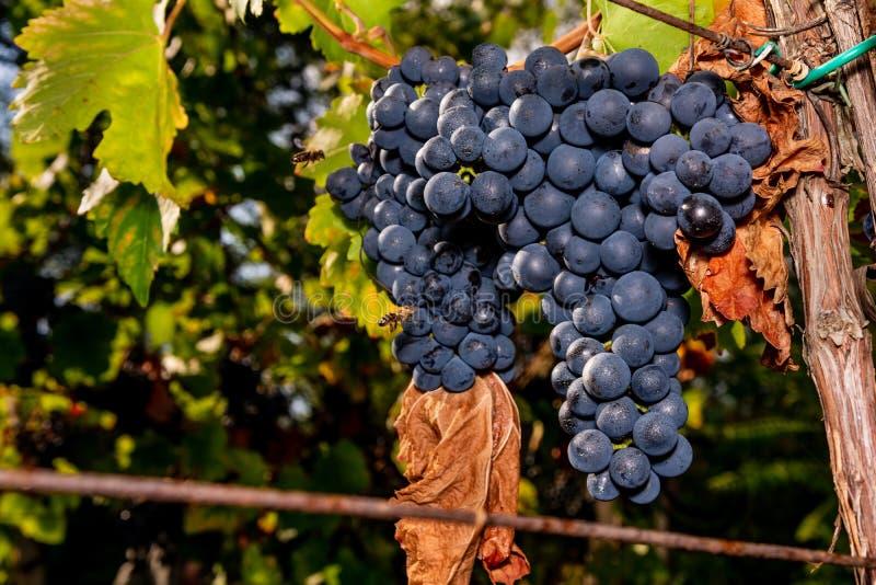 Raisins dans la vigne photographie stock
