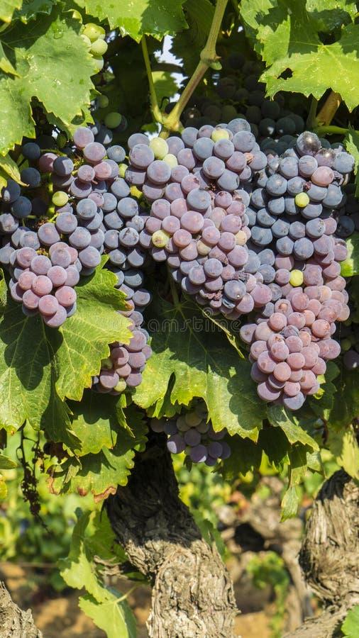 Download Raisins dans la vigne image stock. Image du collecte - 76088693
