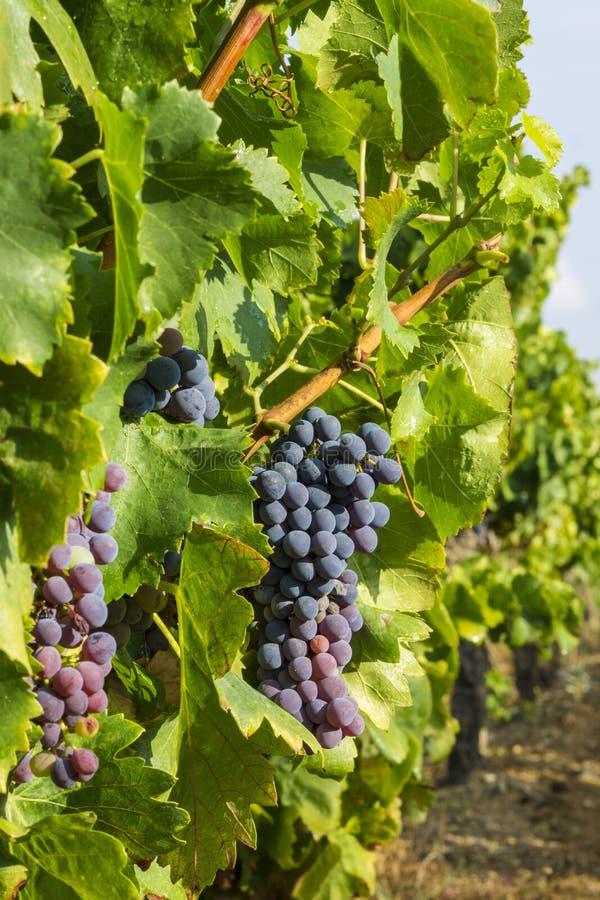 Download Raisins dans la vigne photo stock. Image du mûr, ligne - 76089530
