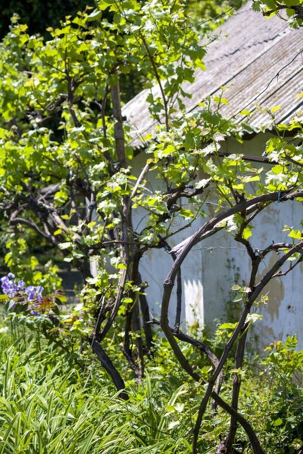 Raisins dans le jardin vigne Jeunes raisins Ressort photo libre de droits