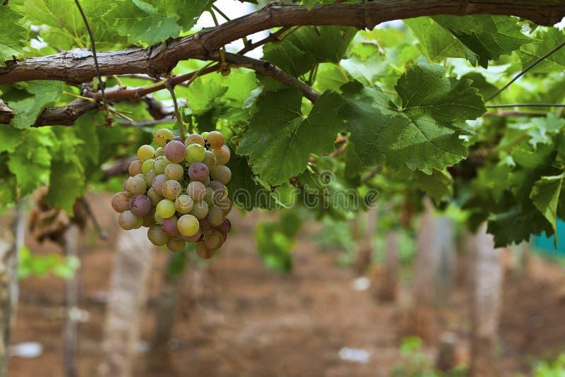 Raisins dans le vignoble photographie stock libre de droits