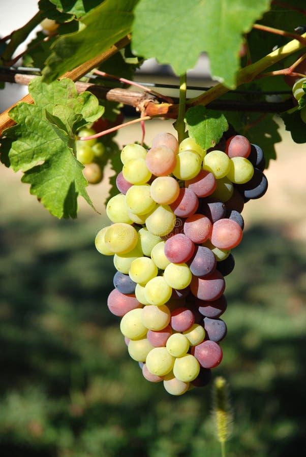 raisins dans le wineyard image libre de droits