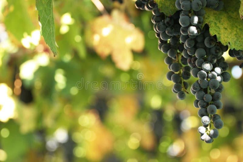 Raisins dans une vigne photographie stock libre de droits