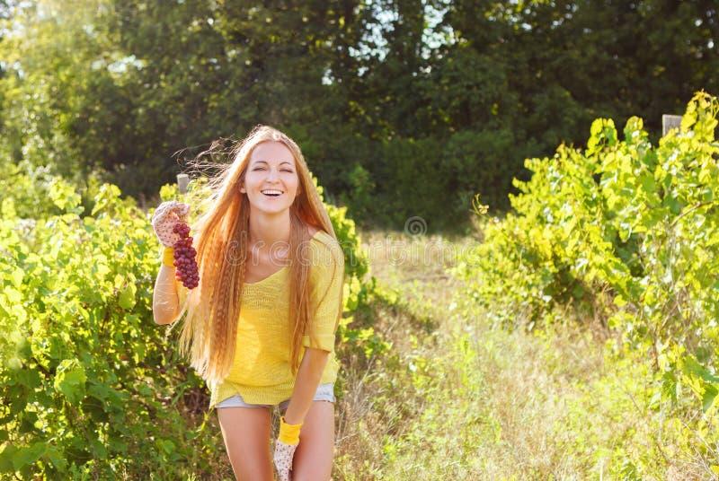 Raisins de cueillette de viticulteur de femme au temps de récolte images stock