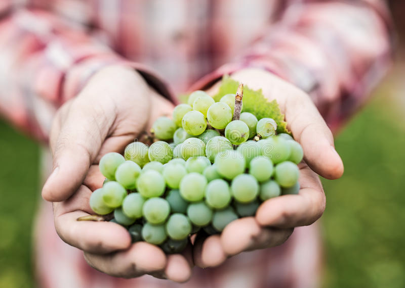Raisins de cuve blanc dans les mains masculines image stock