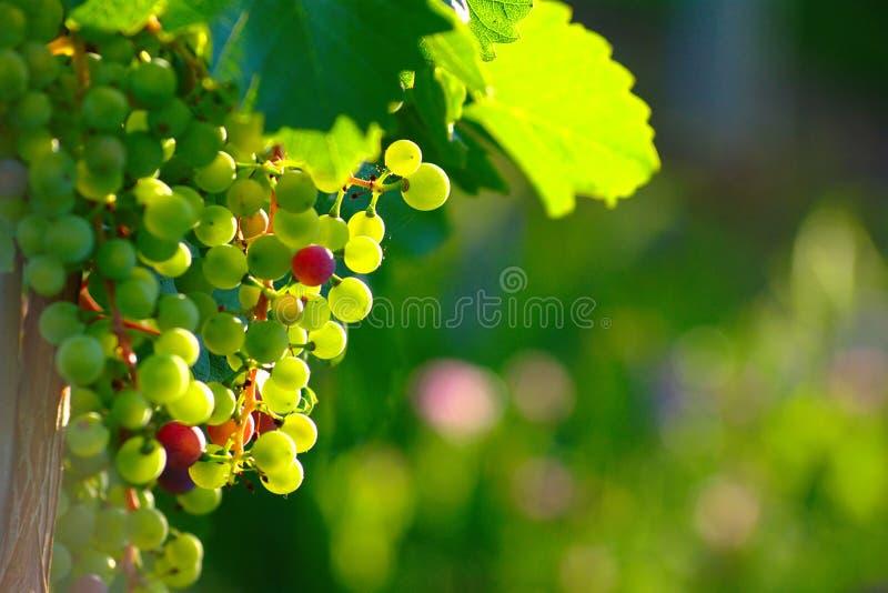 Raisins de cuve bleus de maturation image stock