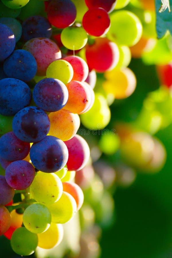 Raisins de cuve bleus de maturation photographie stock libre de droits