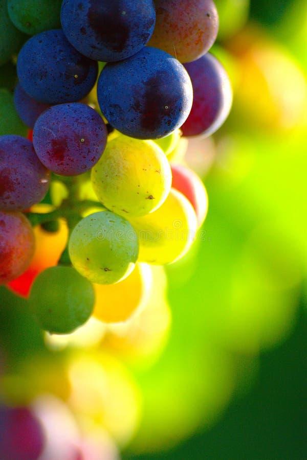 Raisins de cuve bleus de maturation photographie stock