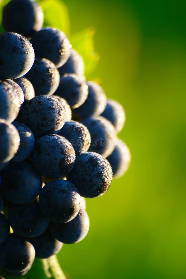 Raisins de cuve bleus mûrs photographie stock libre de droits