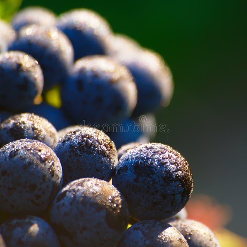 Raisins de cuve bleus mûrs image stock