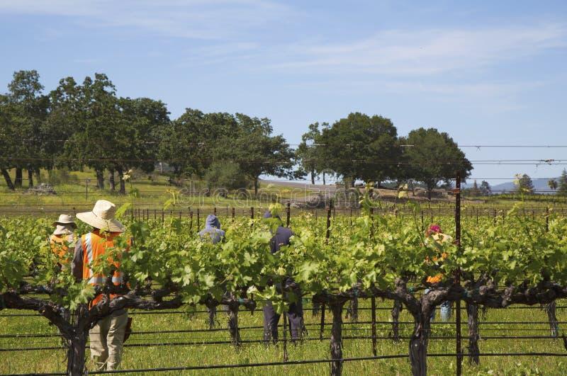 Raisins de cuve d'élagage de travailleurs dans le vignoble photographie stock libre de droits