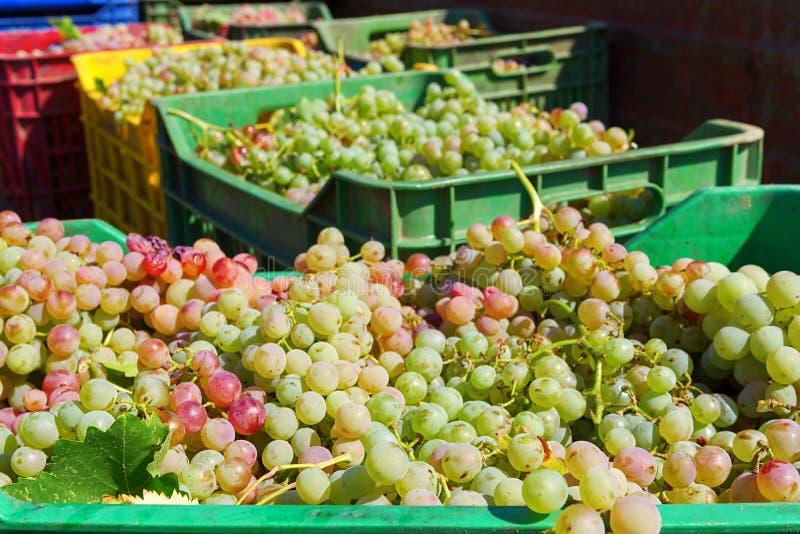 Raisins de cuve dans des boîtes de caisse après moisson à un vignoble images stock