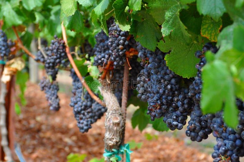 Raisins de cuve de Napa Valley, la Californie image libre de droits