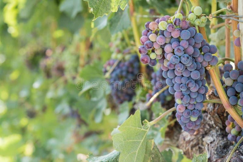 Raisins de cuve mûrs sur la vigne dans le vignoble photo libre de droits