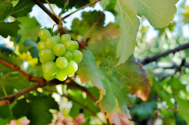 Raisins de cuve savoureux avant moisson photographie stock