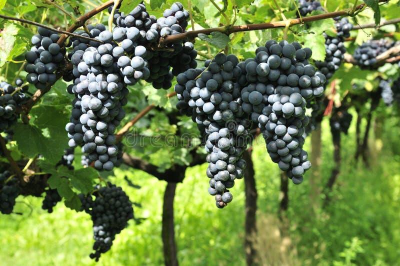 Raisins de cuve savoureux avant moisson image stock