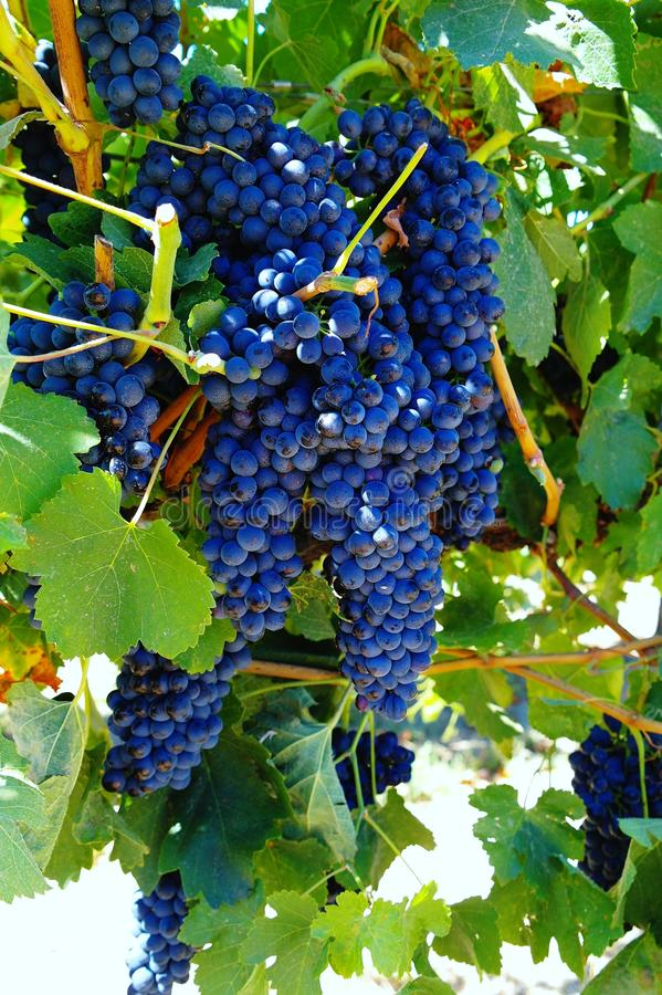 Raisins de cuve savoureux avant moisson images libres de droits