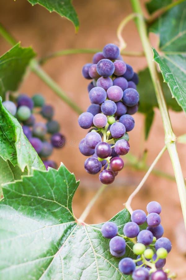 Raisins de maturation dehors dans une lumière naturelle image stock