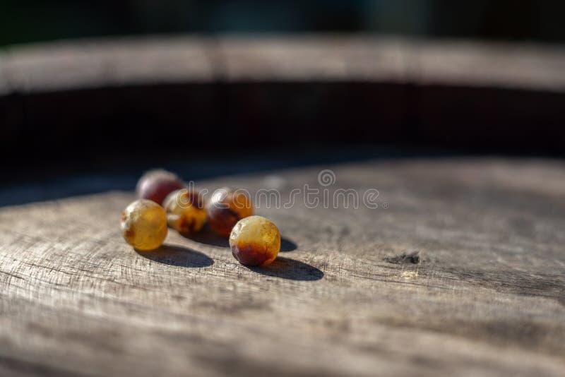 Raisins de raisins secs de vin sur le baril de vin dans le vignoble au temps de moisson photos libres de droits