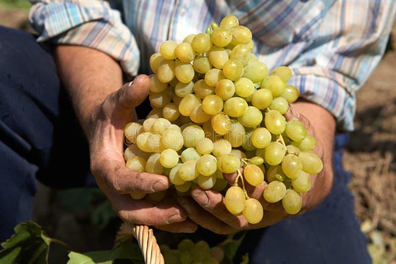 Raisins de table dans les mains du winemaker photos stock