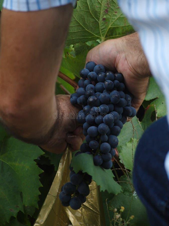 Raisins de vallée du Portugal Douro photo libre de droits