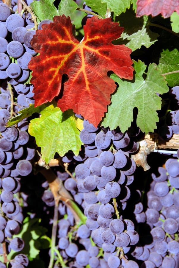 Raisins de vin rouge images stock