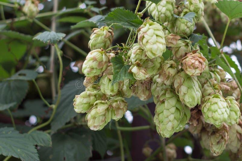 Raisins des houblon mûrs sur le buisson image stock