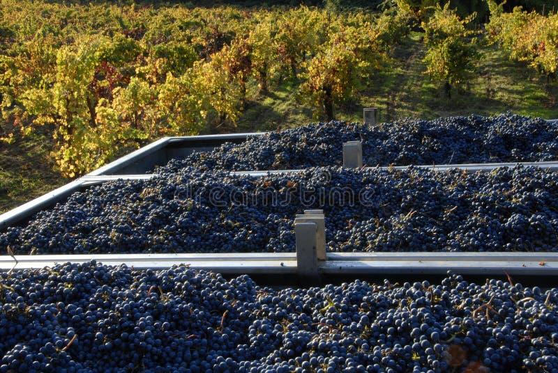 Raisins et vigne de pinot noir image stock