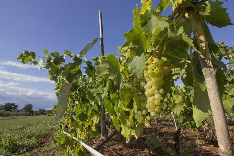 Raisins jaunes mûrs prêts pour moissonner dans un vignoble de famille dans Istria photo stock