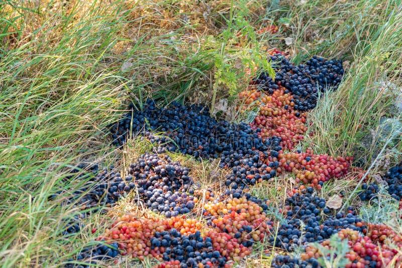 Raisins jetés dans la décharge Les commerçants ont jeté les bons raisins qu'ils ne pourraient pas vendre Avidit? humaine photo libre de droits
