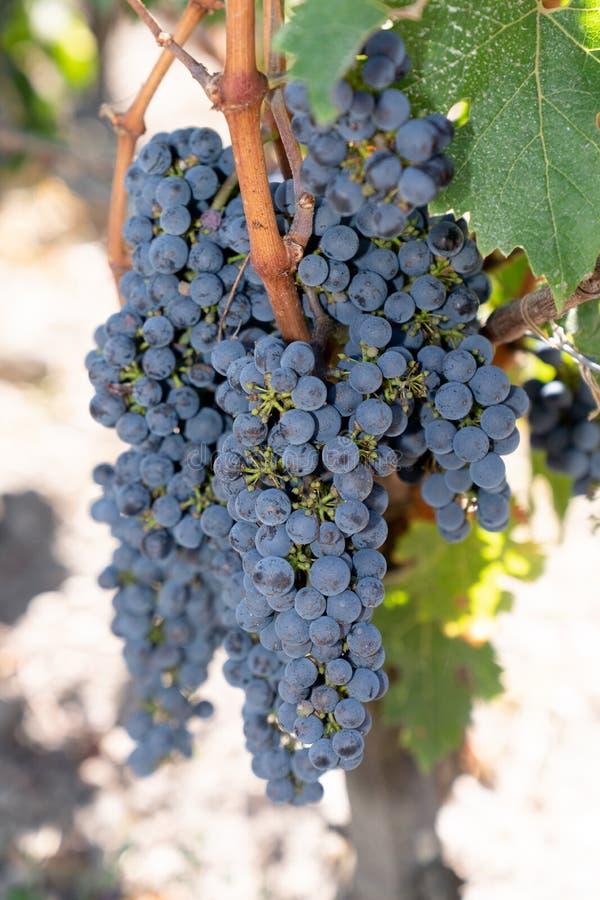 Raisins mûrs Merlot illuminés dans le vignoble Château Margaux en Gironde Aquitaine France photo stock
