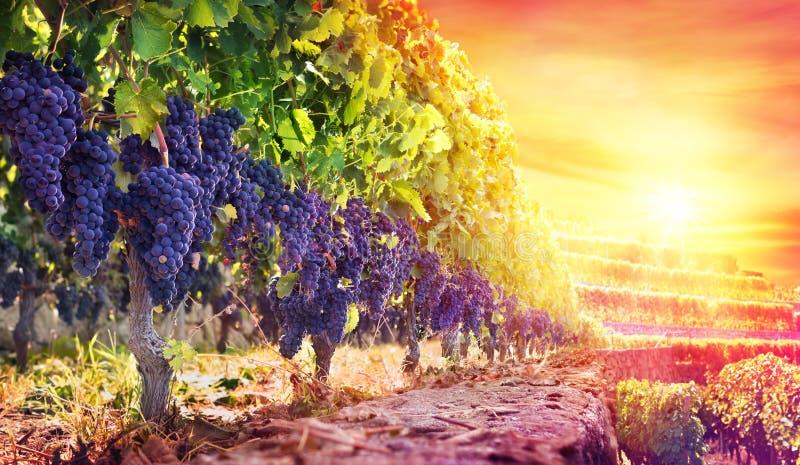 Raisins mûrs dans le vignoble au coucher du soleil image libre de droits