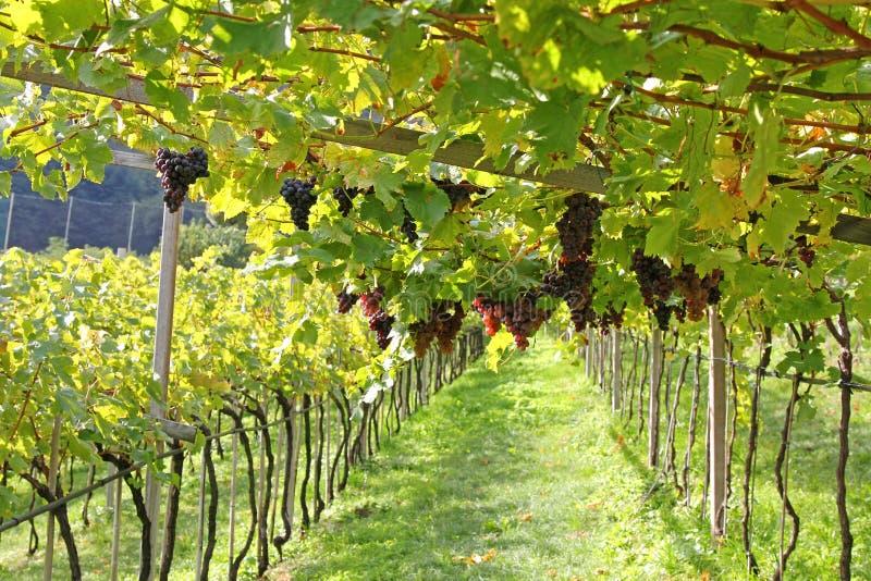 Raisins mûrs de vin rouge en Italie photographie stock libre de droits