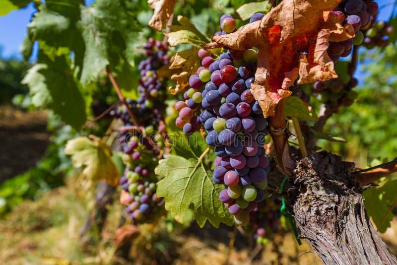 Raisins mûrs en Toscane Italie images stock