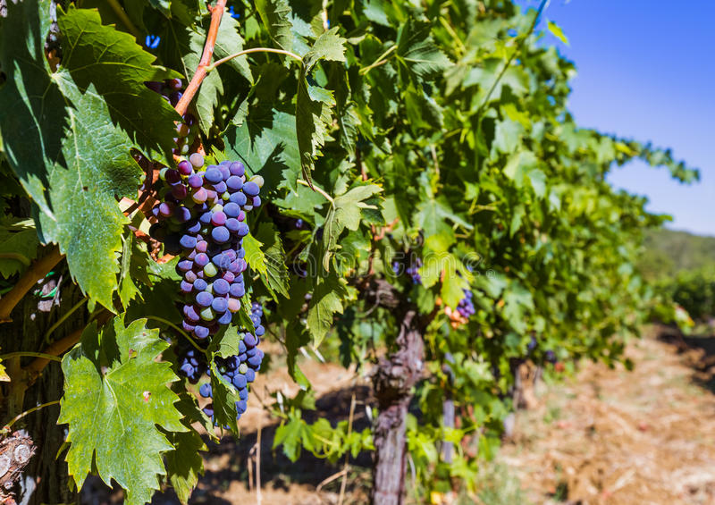 Raisins mûrs en Toscane Italie images libres de droits