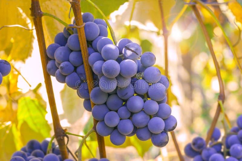 Raisins mûrs prêts pour la moisson image stock