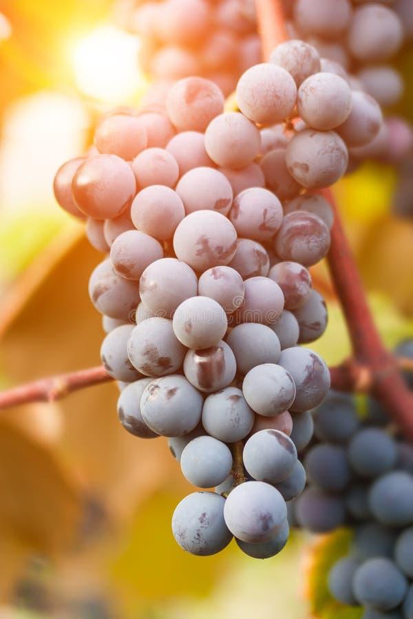 Raisins mûrs prêts pour la moisson images stock