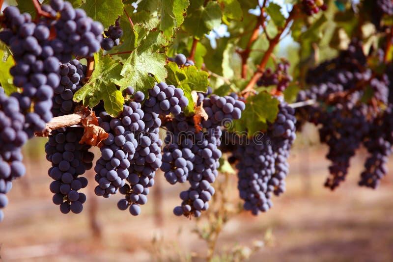 Raisins merlot dans la vigne photographie stock