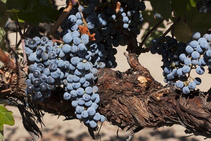 Raisins merlot sur la vigne images stock
